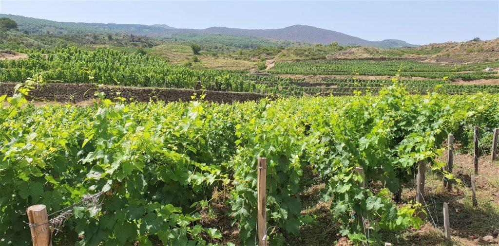 Le vigne dove nasce il Franchetti