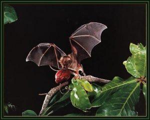 Artibeus Jamaicensis