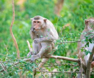 scimmie Rhesus